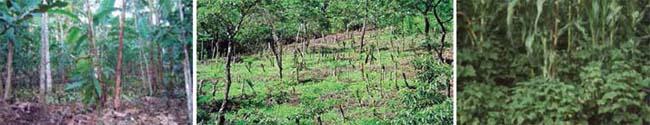 Izquierda: sistema agroforestal de cacao; centro: sistema quesungual en Honduras; derecha: policultivo maíz y frijol como ejemplo de diversificación específica fuentes diversas en internet; M. Altieri