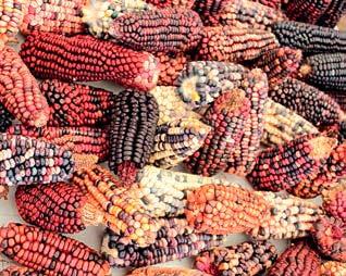 Diversidad de maíz del oeste de Tlaxcala, México. Feria del Maíz y de las Semillas Nativas, Grupo Vicente Guerrero. Juliana Merçon