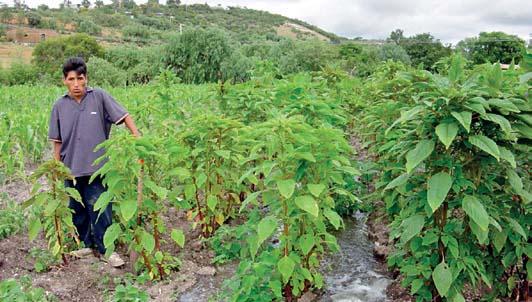 Los quelites: usos, manejo y efectos ecol�gicos en la agricultura campesina