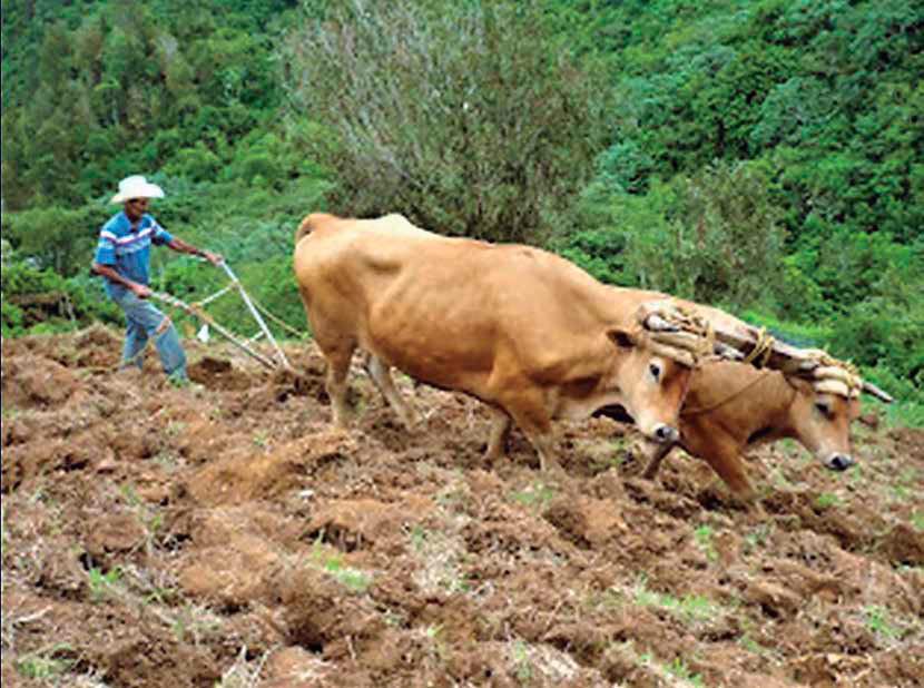 Foto 2. Sembradora directa con tracción animal. Knapik Ltda , Santa Catarina, Brasil